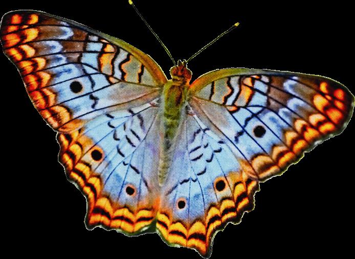 mentor-butterfly